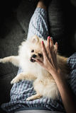 Filhote de cachorro de Pomeranian Foto de Stock