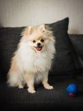 Filhote de cachorro de Pomeranian Fotos de Stock