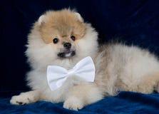 Filhote de cachorro de Pomeranian Imagens de Stock