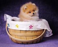 Filhote de cachorro de Pomeranian na cesta Foto de Stock