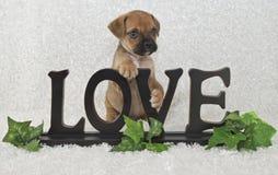 Filhote de cachorro de Puggle imagem de stock royalty free