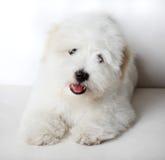 Filhote de cachorro de Puro Coton de Tuléar Foto de Stock