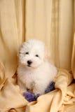 Filhote de cachorro de Puro Coton de Tuléar Fotografia de Stock