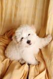 Filhote de cachorro de Puro Coton de Tuléar Foto de Stock Royalty Free