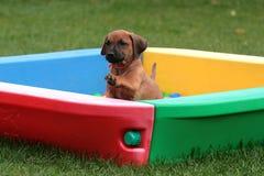 Filhote de cachorro de Rhodesian Ridgeback imagens de stock royalty free