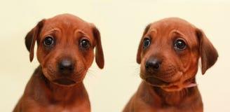 Filhote de cachorro de Ridgeback Foto de Stock Royalty Free