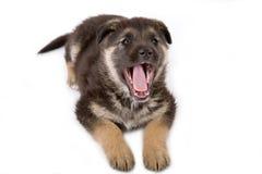 Filhote de cachorro de riso Imagens de Stock