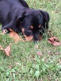 Filhote de cachorro de Rottweiler Imagens de Stock Royalty Free