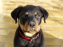 Filhote de cachorro de Rottweiler Fotografia de Stock