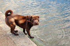 Filhote de cachorro de Shar-Peiâs Imagens de Stock