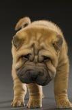 Filhote de cachorro de Shar-Pei Imagem de Stock