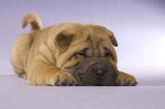 Filhote de cachorro de Shar-Pei Fotografia de Stock Royalty Free