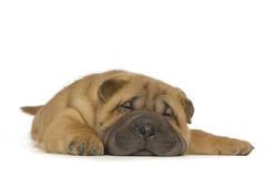 Filhote de cachorro de Shar-Pei Imagem de Stock Royalty Free