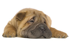 Filhote de cachorro de Shar-Pei Foto de Stock