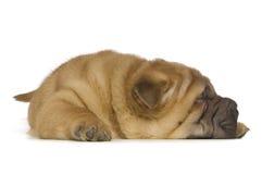 Filhote de cachorro de Shar-Pei Fotografia de Stock