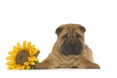 Filhote de cachorro de Shar-Pei Fotos de Stock