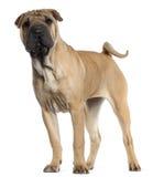 Filhote de cachorro de Shar Pei, 6 meses velho, posição Fotos de Stock Royalty Free