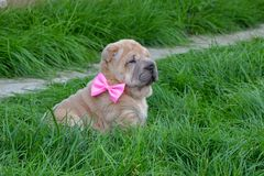 Filhote de cachorro de Shar-Pei Fotos de Stock Royalty Free