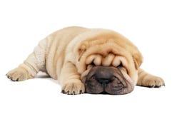 Filhote de cachorro de Sharpei fotografia de stock