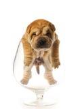 Filhote de cachorro de Sharpei Imagem de Stock