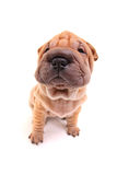 Filhote de cachorro de Sharpei Foto de Stock