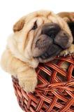 Filhote de cachorro de Sharpei na cesta Imagem de Stock Royalty Free