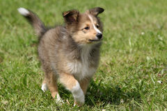 Filhote de cachorro de Sheltie Fotos de Stock Royalty Free