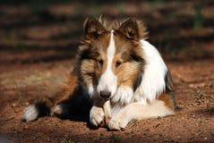 Filhote de cachorro de Sheltie que mastiga em um osso Fotos de Stock