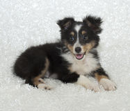 Filhote de cachorro de Sheltie (Sheepdog de Shetland) imagens de stock royalty free