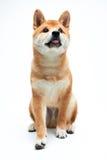 Filhote de cachorro de Shiba Inu Fotos de Stock Royalty Free