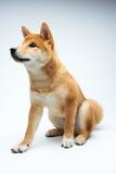 Filhote de cachorro de Shiba Inu Fotografia de Stock