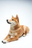 Filhote de cachorro de Shiba Inu Fotos de Stock