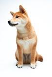 Filhote de cachorro de Shiba Inu Imagem de Stock
