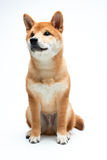 Filhote de cachorro de Shiba Inu Foto de Stock Royalty Free