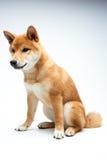 Filhote de cachorro de Shiba Inu Fotografia de Stock Royalty Free