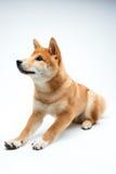 Filhote de cachorro de Shiba Inu Imagem de Stock Royalty Free