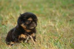 Filhote de cachorro de Shih Tzu Imagem de Stock Royalty Free