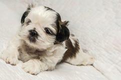 Filhote de cachorro de Shih Tzu Imagens de Stock