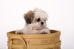 Filhote de cachorro de Shih Tzu Fotos de Stock Royalty Free