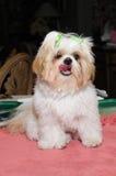 Filhote de cachorro de Shih Tzu Imagens de Stock Royalty Free