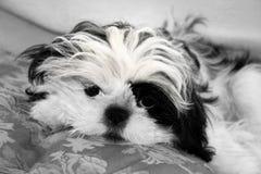 Filhote de cachorro de Shih Tzu Fotografia de Stock Royalty Free