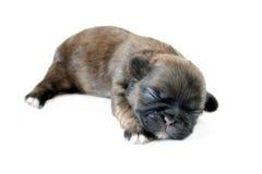 Filhote de cachorro de Shih Tzu Fotos de Stock