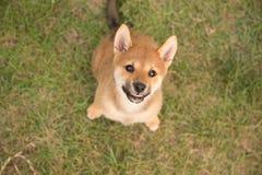 Filhote de cachorro de sorriso Fotografia de Stock