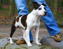 Filhote de cachorro de Staffordshire Fotos de Stock Royalty Free