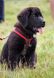 Filhote de cachorro de Terra Nova Fotos de Stock