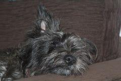 Filhote de cachorro de Terrier de monte de pedras Imagem de Stock