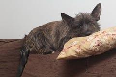 Filhote de cachorro de Terrier de monte de pedras Fotos de Stock Royalty Free