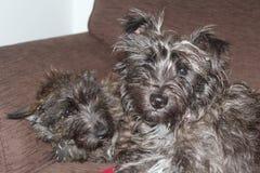 Filhote de cachorro de Terrier de monte de pedras Fotografia de Stock Royalty Free