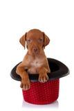 Filhote de cachorro de Vizsla em um chapéu vermelho da mostra Imagem de Stock Royalty Free