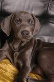 Filhote de cachorro de Weimaraner fotografia de stock royalty free